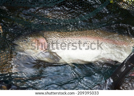 Rainbow Trout in net - stock photo