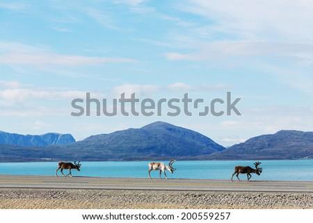 raindeer in Norway - stock photo