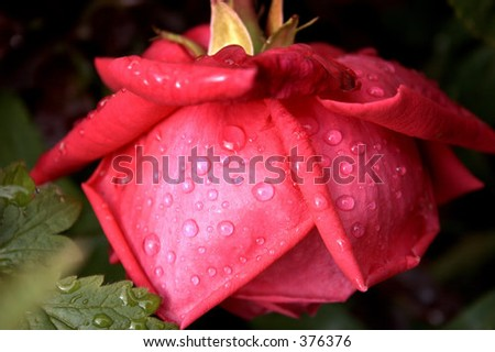 raindrops on a rose - stock photo