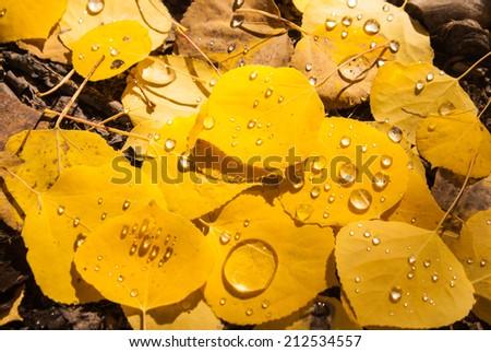 Raindrops on Aspen leaves in Colorado - stock photo