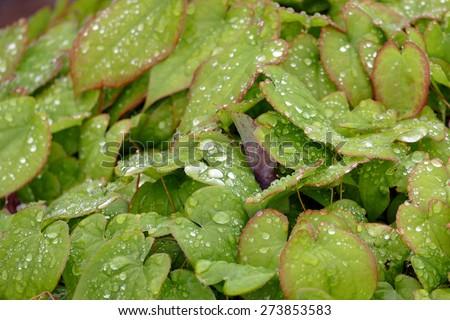 Raindrops on Leaves inside Kenrokuen Garden  - stock photo