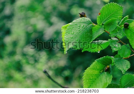raindrops on Spring green leaves in forest - stock photo