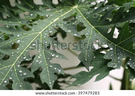 Raindrops on the leaves of papaya - stock photo