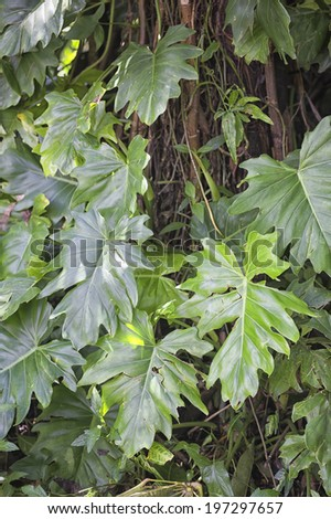 Rainforest Vine in Queensland, Australia - stock photo