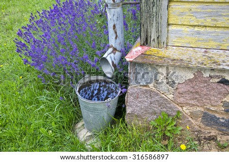 Rainwater collected in a bucket by the building with lavender flowers growing - stock photo