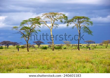 Rainy day in the african savannah and three trees, Serengeti, Tanzania  - stock photo
