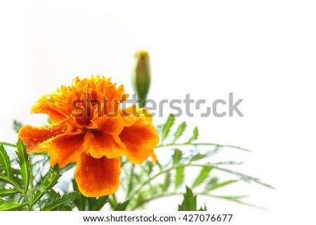 rainy orange marigold blooming in soft mood #2 - stock photo