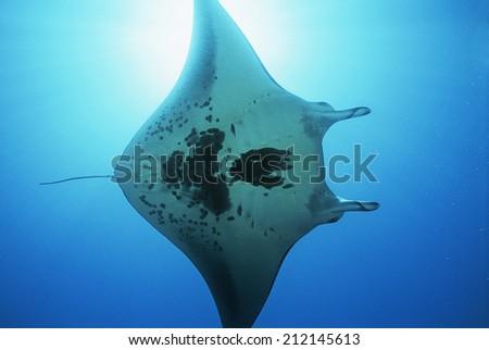 Raja Ampat, Indonesia, Pacific Ocean, manta ray (Manta birostris), view from below - stock photo