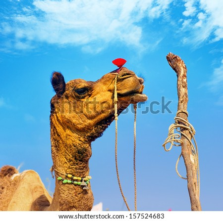 Rajasthan camel in Pushkar fair in India - stock photo