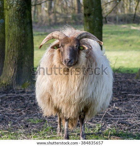 Ram in the field - stock photo