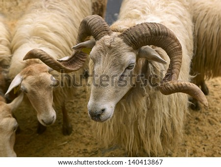 ram's head - stock photo