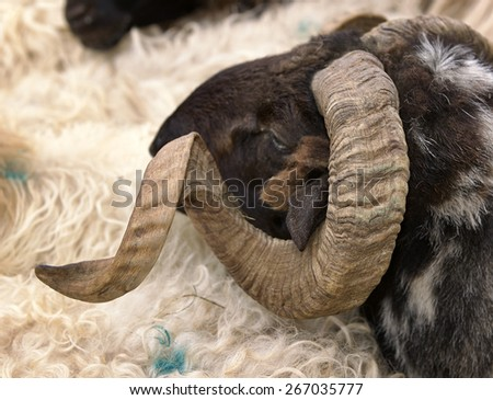 ram's head closeup - stock photo