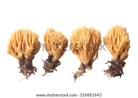 Ramaria flava isolated on white background - stock photo