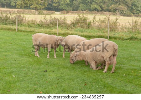 Rams in a field on Cutlers Farm near Stratford upon Avon, Warwickshire, England, UK - stock photo