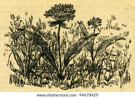 """Ramsons, Allium ursinum also known as buckrams, wild garlic, broad-leaved garlic, wood garlic, bear leek,  - an illustration from the book """"In the wake of Robinson Crusoe"""", Moscow, USSR, 1946 - stock photo"""