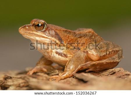 Rana temporaria - stock photo
