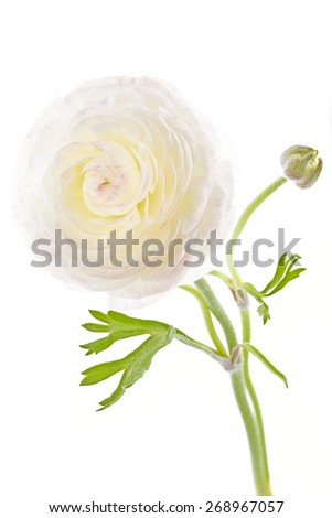 Ranunculus asiaticus on white background - stock photo