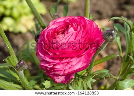 Ranunculus bloom in the garden - stock photo