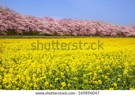 Rape blossoms and cherry tree, Saitama, Japan - stock photo