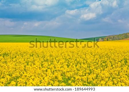 rape field at the sunrise - beautiful landscape conception - stock photo