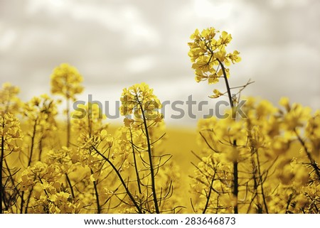 Rape field, canola crops - stock photo