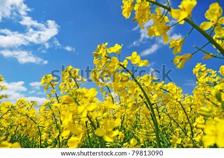Rape field, canola crops on blue sky - stock photo