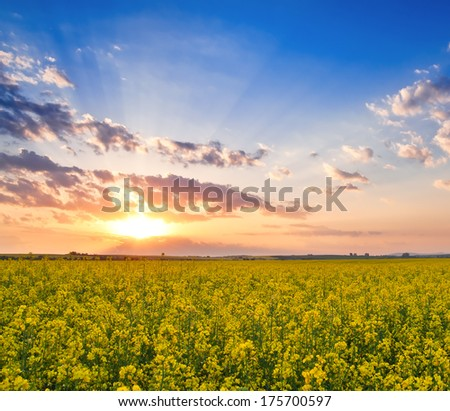rape field on sunset in the photo - stock photo