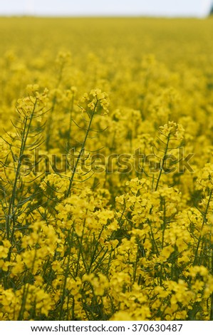 Rape field; Shallow depth of field; Focus on flower;                    - stock photo