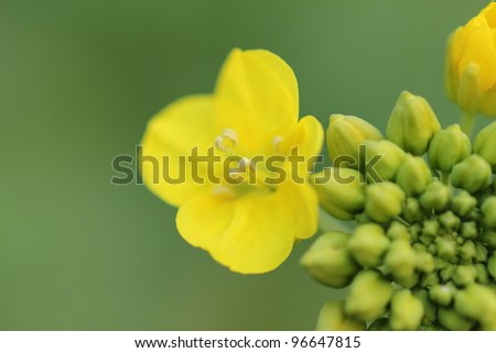 Rape flower - stock photo