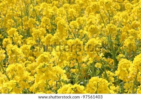 Rape flower field, in spring - stock photo