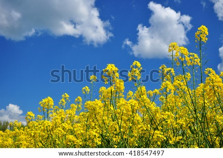 Rape oilseed field agriculture background - stock photo