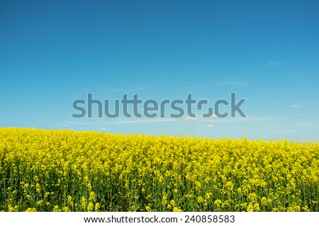 Rape seed field - stock photo