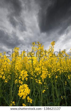 Rapefield and rainclouds - stock photo