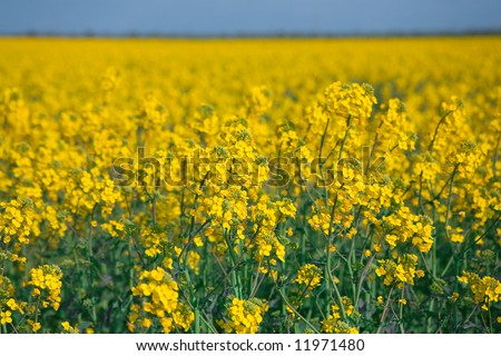 Rapeseed field and blue sky. Focus in the foreground. - stock photo