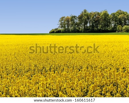 Rapeseed field in a sunny day. - stock photo