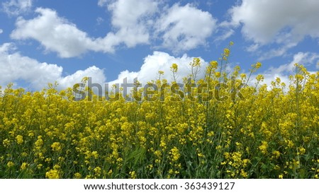 Rapeseed field in spring - stock photo