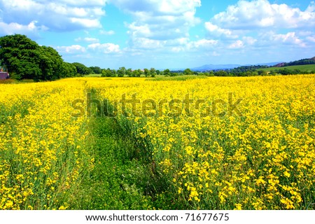 rapeseed field in Spring time - stock photo