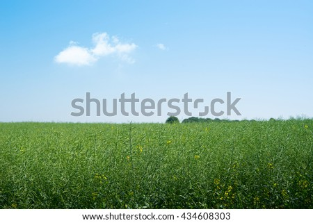 Rapeseed field with green plants and blue sky - stock photo