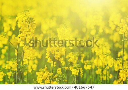 Rapeseed field with yellow flowers, natural agricultural eco sunny spring background - stock photo