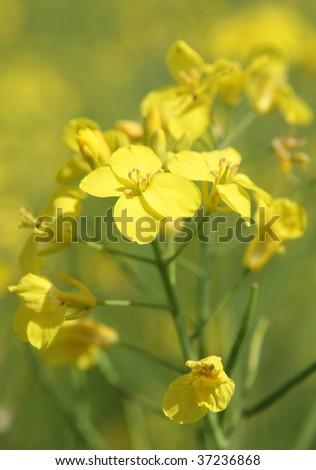 Rapeseed oil flowers (Brassica napus). - stock photo