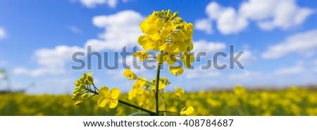 Rapeseed or rape (Brassica napus) flower in spring - stock photo