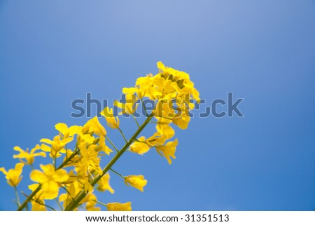 rapeseed under the sky - stock photo