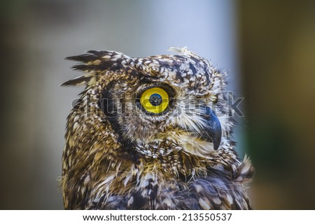 raptor, beautiful owl with intense eyes and beautiful plumage - stock photo