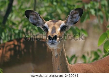 Rare Black Faced Impala - Aepeceros melampus petersi - stock photo
