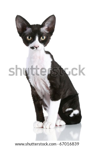 Rare breed Devon-rex cat sits on a white background - stock photo