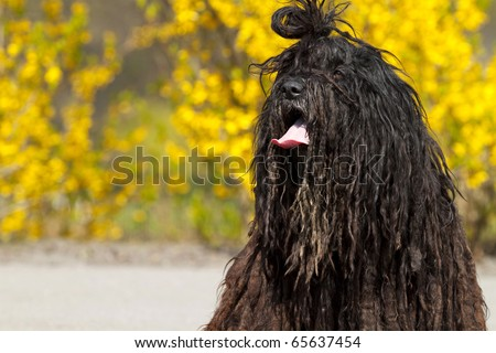 Rare breed of dog � Bergamasco Shepherd. - stock photo