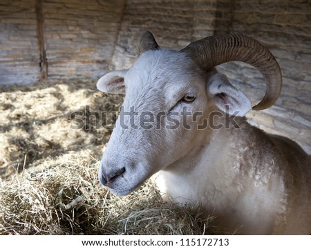 Rare breed sheep in open, timber-framed barn, England - stock photo
