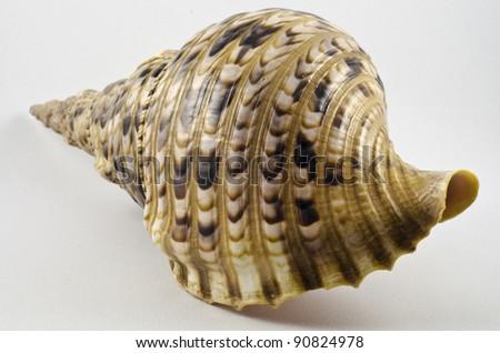 Rare conch sea shell - stock photo