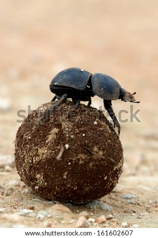 Rare Flightless Dung Beetle Rolling Ball of Dung for Breeding - stock photo