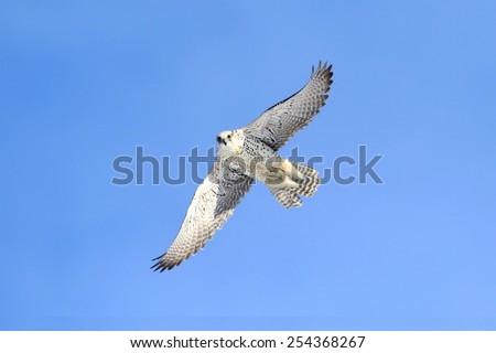Rare (Gyrfalcon Falco rusticolus) in flight against a blue sky - stock photo